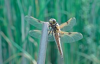 four_spotted libellula, four_spotted chaser, four spot Libellula quadrimaculata, male, Jul 95.