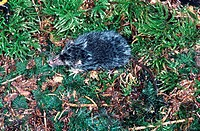 Old World water shrew, Northern Shrew, Eurasian Water Shrew Neomys fodiens.