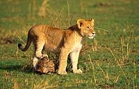 lion Panthera leo, lion cub standing on turtle, Kenya, Masai Mara NP.