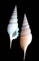 Powis´s tibia Tibia powisi, two snail shells