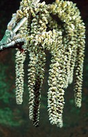 turkish hazel Corylus colurna, male inflorescences, catkins