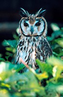 striped owl Asio clamator, Rhinoptynx clamator
