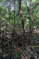 Swamp_red Rhizophora mangle, Growth of Mangroves, Brazil