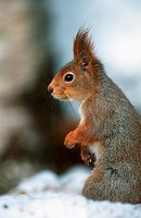European red squirrel, Eurasian red squirrel Sciurus vulgaris.
