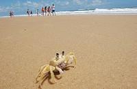 Crab, Praia da Pipa, Natal, Rio Grande do Norte, Brazil
