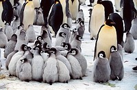 emperor penguin Aptenodytes forsteri, huddling together.