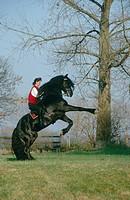 Frisian horse Equus przewalskii f. caballus, standing on its hind legs.