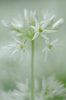 Ramson (Allium ursinum), umbel-shaped inflorescence