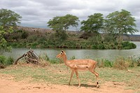 impala Aepyceros melampus, female at a river, South Africa, Krueger Np