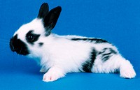 domestic rabbit Oryctolagus cuniculus f. domestica