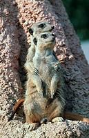 suricate, slender_tailed meerkat Suricata suricatta.