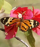 Butterfly, Flower_of_spring, Pantanal, Mato Grosso do Sul, Brazil
