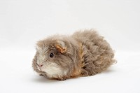 Merino guinea pigs, lilac-gold-white, sitting sideways