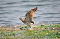 Wood Sandpiper (Tringa glareola), Crete