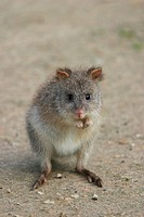 rufous rat_kangaroo, rufous bettong Aepyprymnus rufescens, sitting on hind legs, frontal, eye contact, Australia