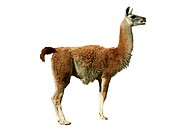 guanaco Lama guanicoe, cutted out