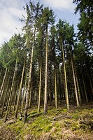 Dense forest of Scots Pine trees UK