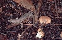 sand lizard Lacerta agilis.