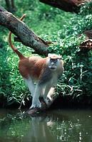 Patas monkey, red guenon, red monkey, hussar monkey, nisnas Erythrocebus patas.