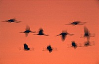 common crane Grus grus, flying group against red evening sky.