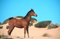 pure_bred Arab horse Equus przewalskii f. caballus, foal in dunes