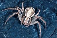 crab spider Xysticus ulmi