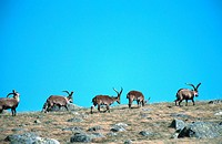 Spanish Ibex Capra pyrenaica victoriae, Mai 99.