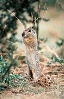 European ground squirrel, European suslik, European souslik Citellus citellus, Spermophilus citellus, begging, Hungary, Puszta_Hortobagy NP