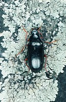 alleculid beetle Gonodera luperus, imago