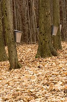 Sap buckets on maple trees Acer saccharum Picton, Ontario, Canada maple sugar prodeuction