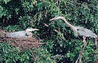 great blue heron Ardea herodias, pair at nest, Feb 99.