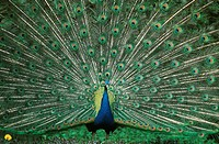common peafowl Pavo cristatus, turning wheels