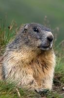 Alpine Marmot (Marmota marmota), Hohe Tauern National Park, Carinthia, Austria, Europe