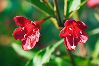 Weigela (Weigela), bush