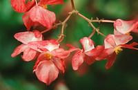 hardy begonia Begonia grandis ssp. evansia, blossoms