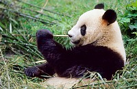 giant panda Ailuropoda melanoleuca, two years old panda feeding bamboo in the research station of Wolong, national animal of China, China, Sichuan, Wo...