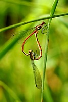 Pyrrhosoma nymphula, Large Red Damselflies mating in 'copulation wheel' position, Wales