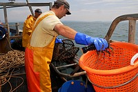 Lobster fishermen removing a lobster from the pot, placing it in a keep basket and rebaiting the pot, Cardigan Bay, Wales