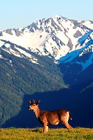 mule deer, black_tailed deer Odocoileus hemionus, animal in front of mountain range, USA, Washington, Olympic National Park