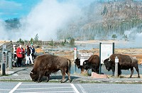 American bison, buffalo Bison bison, on a parking aerea, USA, Wyoming, Yellowstone NP