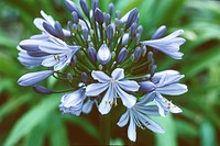 bell Agapanthus, African Blue Bell Agapanthus campanulatus, inflorescence