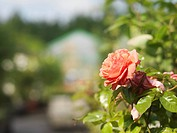 Rose In Garden Center