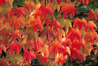 Autumn leaves, wild vine