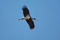 black stork Ciconia nigra, flight silhouette, Spain, Extremadura