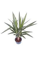 Elephant Yucca Yucca elephantipes, potted plant
