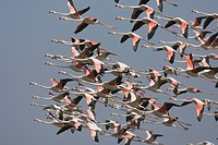 greater flamingo Phoenicopterus ruber, flying flock, Spain, Nationalpark Coto Donana