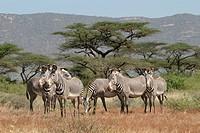 Grevy´s zebra Equus grevyi, herd standing in savanna, Kenya, Samburu Np