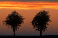common birch, silver birch, European white birch, white birch Betula pendula, Betula alba, birchtree during sunset, Schaumburger Land, Germany, Lower ...