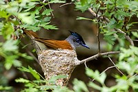 Asiatic paradise flycatcher Terpsiphone paradisi, portrait of a single animal on the nest, Kazakhstan