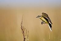 yellow wagtail Motacilla flava, landing, Kazakhstan, Scholak_See